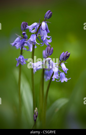 English Bluebells or common bluebells  -  Hyacinthoides non-scripta - Stock Photo