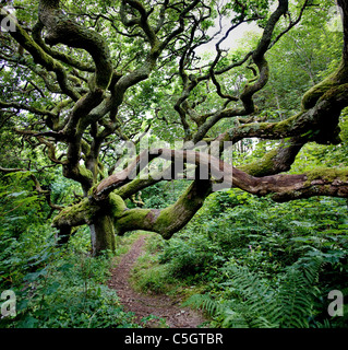 Stunted Oak tree with long sinuous branches overhanging the riverside path in the Marsland Valley on the Devon Cornwall - Stock Photo