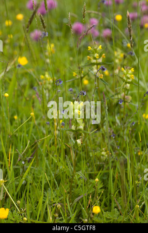 Yellow Rattle growing in a field at Threlkeld Cumbria England - Stock Photo