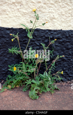 Common garden weeds - Sonchus oleracus - Smooth Sow Thistle or MilkThistle growing in the crack between a rendered - Stock Photo