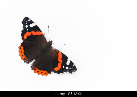 Vanessa atalanta. Red Admiral butterfly on white background - Stock Photo