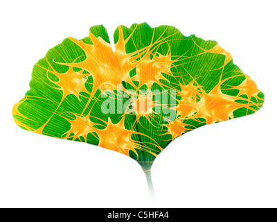 Ginkgo and nerve cells - Stock Photo