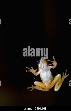 Foothill Yellow-legged Frog on a glass door showing its white underside, yellow legs, feet, and belly against a - Stock Photo