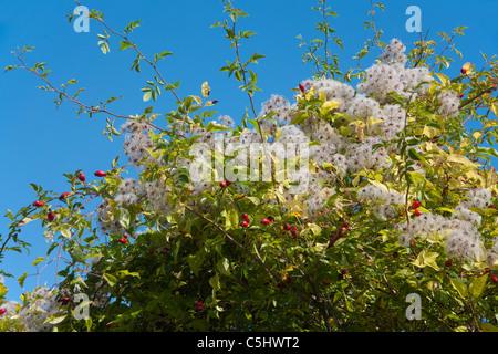 Gemeine Waldrebe oder Gewoehnliche Waldrebe, Clematis vitalba, Mosel Old Man's Beard, Clematis vitalba, Moselle - Stock Photo