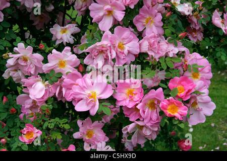 rose marguerite hilling rosa hybrid moyesii thomas. Black Bedroom Furniture Sets. Home Design Ideas