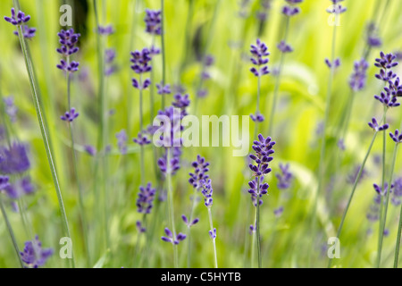 Lavender Flowers Blooming in Summer with Blurred Background - Stock Photo
