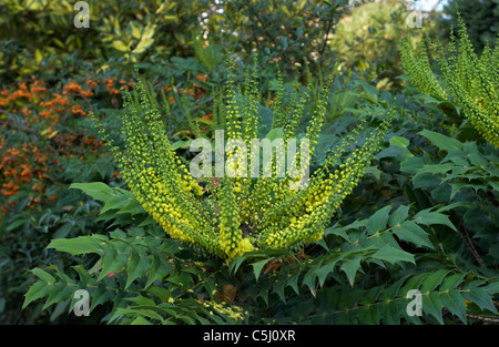 Mahonia is an upright, bushy, vigorous evergreen shrub which flowers from late autumn to early spring. During the - Stock Photo