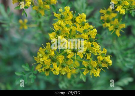 Common Yellow Garden Flowers common rue or herb-of-grace, ruta graveolens in flower, as garden
