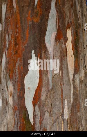 Bark, Blue Gum Tree, Eucalyptus, Lake Te Anau, South Island, New Zealand - Stock Photo