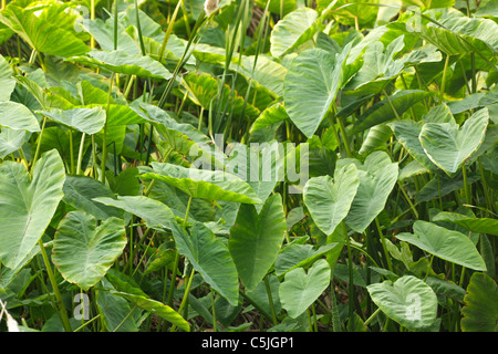 giant taro alocasia macrorrhiza plant  in tropical swamp, thailand - Stock Photo