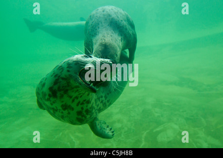 Two Grey seals / Gray seals (Halichoerus grypus) playing underwater, Germany - Stock Photo