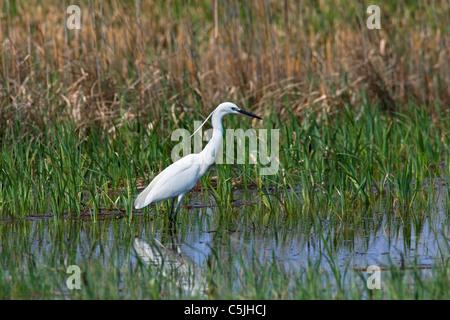 Little Egret (Egretta garzetta) in lake, Lake Neusiedl / Neusiedler See, Austria - Stock Photo