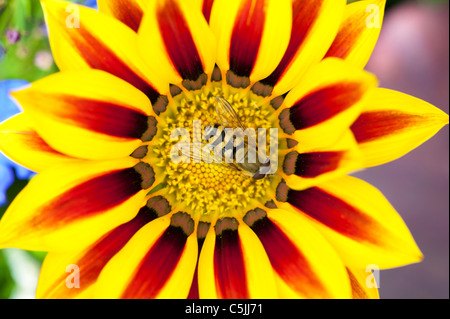 Eupeodes corolla . Hoverfly on a Gazania 'splendor daybreak' flower - Stock Photo