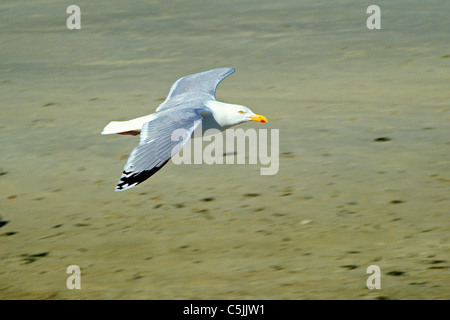 seagull flying along the beach, Norderney Island, North Sea Coast, East Friesland, Lower Saxony, Germany - Stock Photo