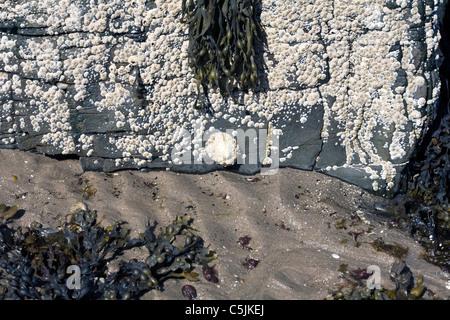 Common Limpets and Acorn Barnacles Rubha Ardnish Beach Breakish Broadford Isle of Skye Scotland
