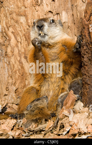 Woodchuck Mother Marmota monax inside den with one-month-old young North America - Stock Photo