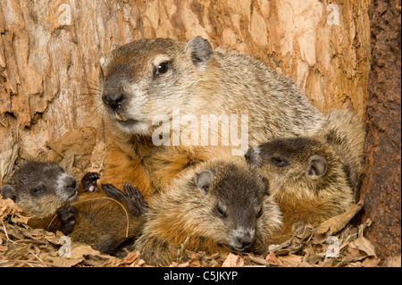 Woodchuck also known as Groundhog Marmota monax inside den with one-month-old young Eastern USA - Stock Photo