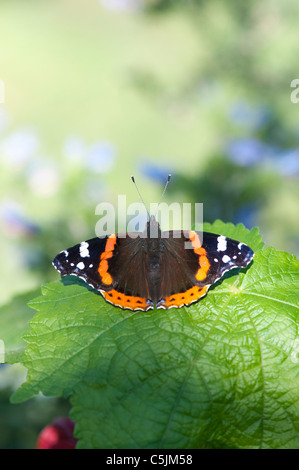 Vanessa atalanta . Red Admiral butterfly on a plant leaf - Stock Photo
