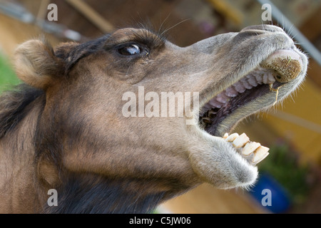 A Camel at a show in Oxfordshire England Camelus - Stock Photo