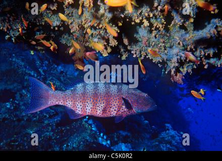 Roving coral grouper, Plectropomus pessuliferus (marisrubri), with Scalefin anthias, Anthias squamipinnis, Red Sea, - Stock Photo