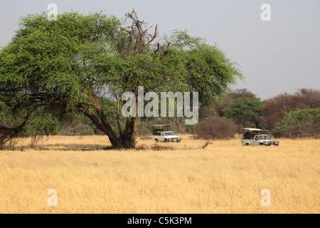 Safari vehicles pass under an acacia tree in Hwange National Park, Zimbabwe. - Stock Photo
