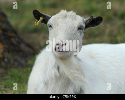 A happy little billy goat smiling - Stock Photo