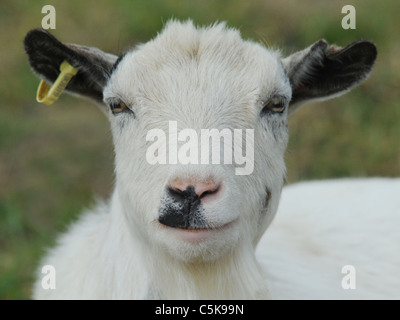 A happy billy goat smiling - Stock Photo