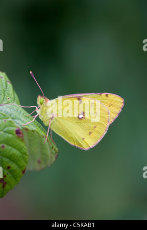 Clouded Yellow Butterfly; Colias croceus; on leaf - Stock Photo