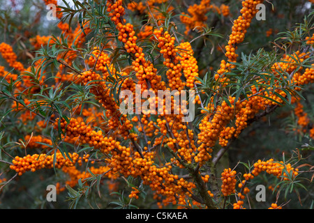 Common Sea-buckthorn (Hippophae rhamnoides) twig with ripe berries, Germany Stock Photo