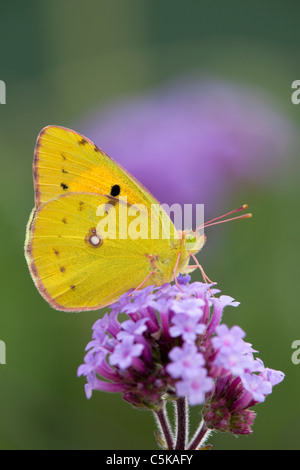 Clouded Yellow Butterfly; Colias croceus; on verbena flower - Stock Photo