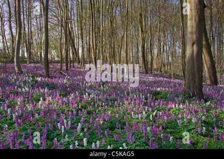 Hollowroot / bird-in-a-bush / fumewort (Corydalis cava) flowering in forest in spring, Germany - Stock Photo