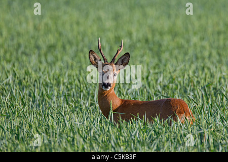 Roe deer (Capreolus capreolus) buck in field, Germany - Stock Photo