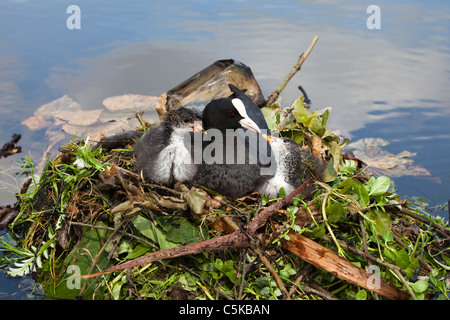 Adult coot and two chicks on a nest of twigs and leaves in a pond in Vondelpark, Amsterdam - Stock Photo