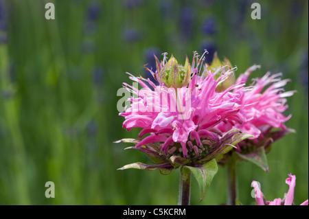 Bergamot Monarda 'Petite delight' flower. Beebalm 'Petite Delight' in an english garden. UK - Stock Photo
