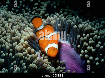 Ocellaris Clownfish (Amphiprion Ocellaris), hides in the protection of a sea anemone's tent. Papua New Guinea, Pacific - Stock Photo