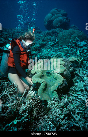 Diver examining a Giant Fluted Clam (Tridacna squamosa) on a coral reef. Palau, Micronesia - Pacific Ocean - Stock Photo