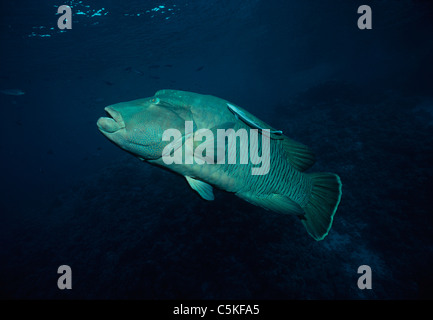 Giant Napoleon wrasse (Cheilinus undulatus) with a symbiotic pilot fish attached to its side. Egypt, Red Sea - Stock Photo