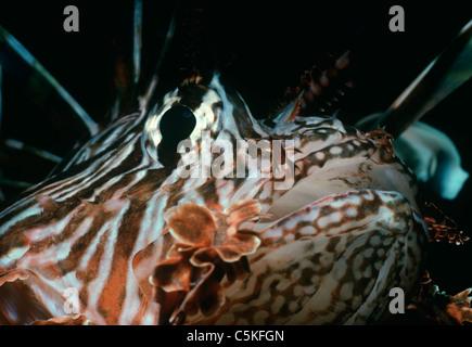 Poisonous Red Fire Lionfish (Pterois volitans). Egypt, Red Sea - Stock Photo