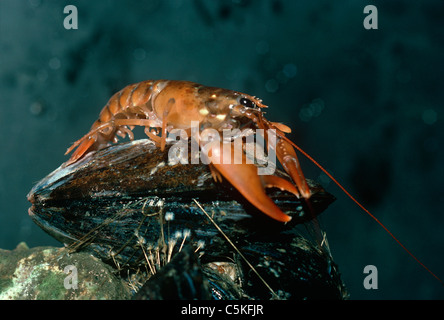 One-Year old American Lobster (Homarus americanus) scavenges on a mussel.  Massachusetts, USA - Stock Photo