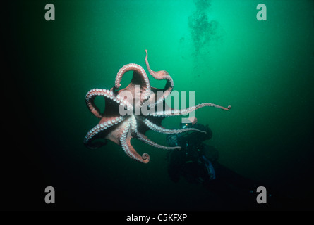 A Giant Pacific Octopus (Enteroctopus dofleini) weighing over 20 Kilos interacts with a diver. British Columbia - Stock Photo