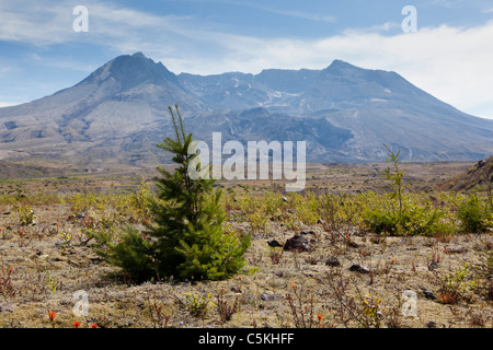 Regrowth in the blast plain in front of Mount St Helens volcano - Stock Photo