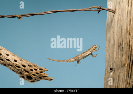 Ornate Tree Lizard Urosaurus ornatus jumping onto a fencepost Arizona USA - Stock Photo
