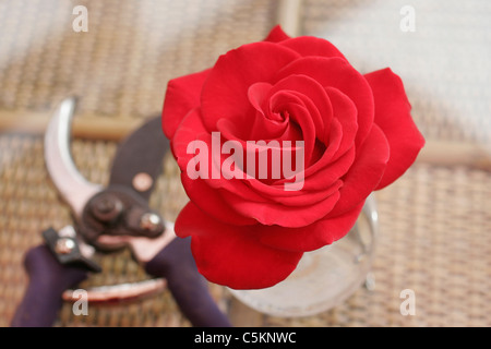 Rose 'Grand Hotel' in bud-vase on a cane glass-top table, with a pair of secateurs (out-of-focus) in background - Stock Photo
