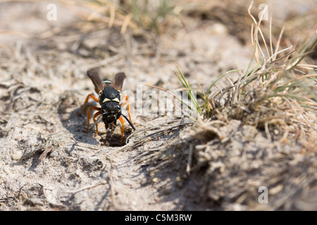 Purbeck mason wasp (Pseudepipona herrichii) removing nest spoil. - Stock Photo