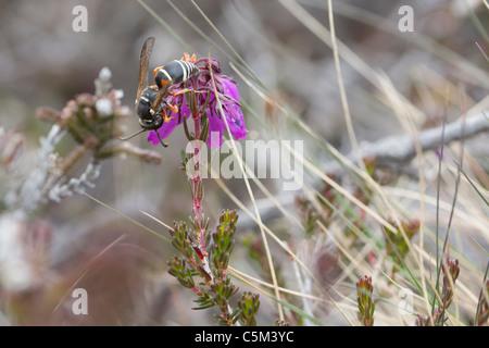 Purbeck mason wasp (Pseudepipona herrichii) feeding on bell heather. - Stock Photo