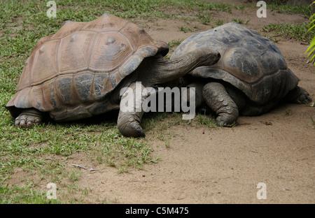 Giant turtles - Stock Photo