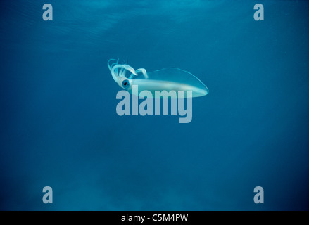 Bigfin Reef Squid (Sepioteuthis lessoniana) swims in open ocean, Egypt - Red Sea. - Stock Photo