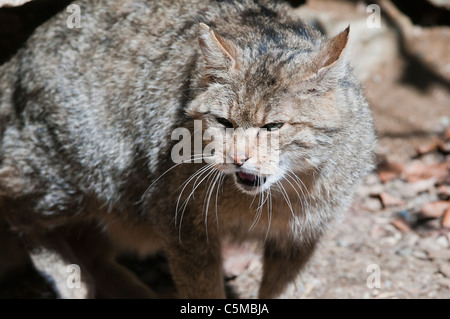 European Wildcat, Felis silvestris, in its territory - Stock Photo