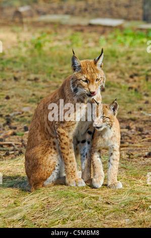 Eurasian Lynx, Lynx lynx, mother with cub - Stock Photo