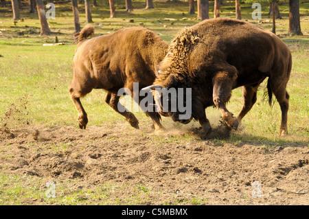 Eurasian Bison, Bison bonasus, fighting - Stock Photo